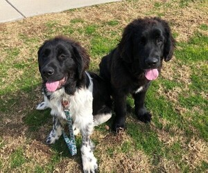 Newfoundland Litter for sale in WILDOMAR, CA, USA
