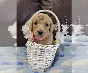 Poodle (Standard) Litter for sale in TAMPA, FL, USA