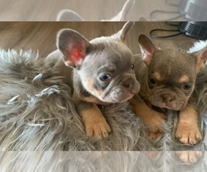 French Bulldog Litter for sale in FAIRFIELD, CA, USA