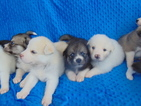 Great Pyrenees-Siberian Husky Mix Puppy For Sale in PHILADELPHIA, PA, USA