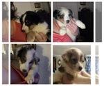 Small Shel-Aussie-Shetland Sheepdog Mix