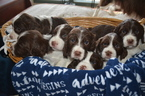 English Springer Spaniel Puppy For Sale in BUCKHANNON, WV, USA