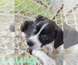 Boston Terrier-Unknown Mix Litter for sale in BALTIMORE, MD, USA