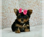 Yorkshire Terrier Puppy For Sale in WARSAW, IN, USA