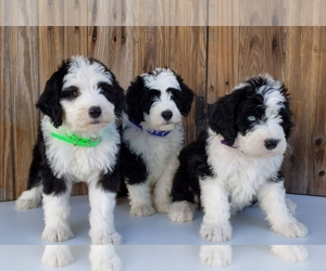 Sheepadoodle Litter for sale in SUGARCREEK, OH, USA