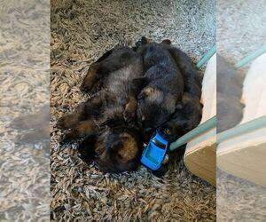 German Shepherd Dog Litter for sale in LACEY, WA, USA