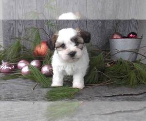 Havanese Litter for sale in SUGARCREEK, OH, USA