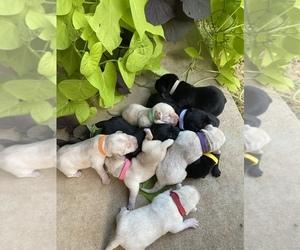 Labrador Retriever Litter for sale in POTTSBORO, TX, USA