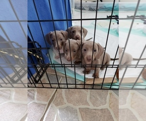 Dachshund Litter for sale in RICHMOND, TX, USA