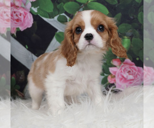 Cavalier King Charles Spaniel Litter for sale in WARSAW, IN, USA