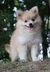Pomeranian-Pomsky Mix Puppy For Sale in NAPPANEE, IN, USA