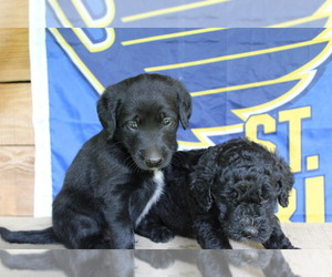 Double Doodle Litter for sale in FREDERICKTOWN, MO, USA