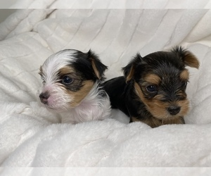 Morkie Litter for sale in COLUMBIA, SC, USA
