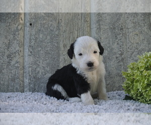 Puppies For Sale Near Berlin Ohio Usa Page 1 10 Per Page Puppyfinder Com