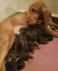 Bloodhound Litter for sale in TOCCOA, GA, USA