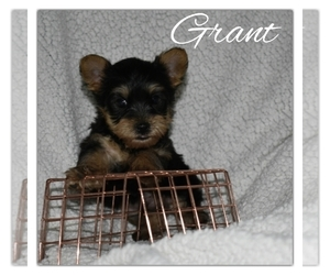 Yorkshire Terrier Litter for sale in SUGARCREEK, OH, USA