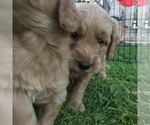 Goldendoodle Puppy For Sale in FOREST PARK, IL, USA