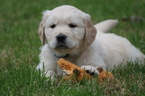 English Cream Golden Retriever  Puppy For Sale in RUTLAND, OH, USA