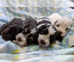 Schnauzer (Miniature) Litter for sale in BOGER CITY, NC, USA