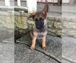 German Shepherd Dog Puppy For Sale in LAUREL, IN, USA