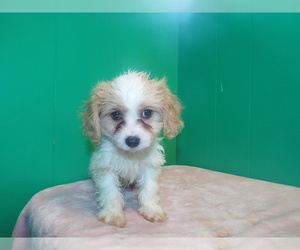 Cavachon Litter for sale in PATERSON, NJ, USA