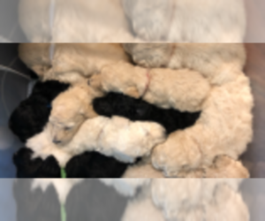 Sheepadoodle Litter for sale in SAN ANTONIO, TX, USA