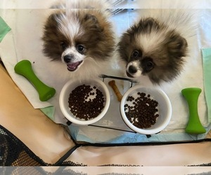 Pomeranian Litter for sale in STATEN ISLAND, NY, USA
