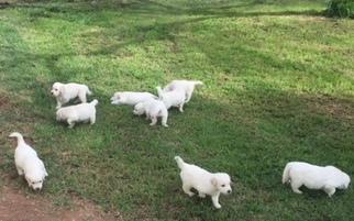 Golden Retriever Puppy For Sale in GILBERT, AZ, USA
