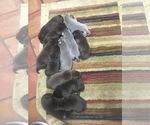 Labrador Retriever Puppy For Sale in STUTTGART, AR, USA