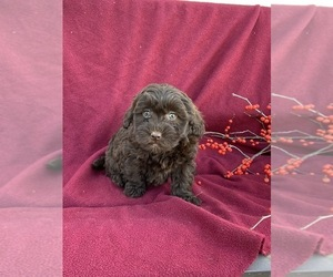 Golden Irish-Goldendoodle Mix Litter for sale in POINTS, WV, USA