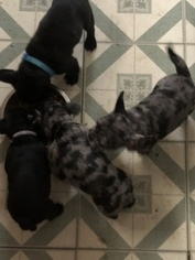 French Bulldog-Frenchie Pug Mix Litter for sale in DAYTON, OH, USA