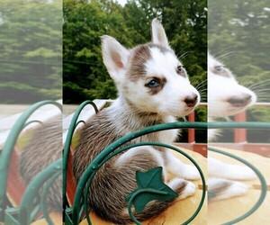 Siberian Husky Litter for sale in DANBY, VT, USA