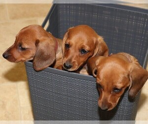 Dachshund Litter for sale in NEW HOLLAND, PA, USA