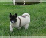 Akita Puppy For Sale in MOUNT SOLON, VA, USA