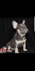 French Bulldog Litter for sale in Birchgrove, West Glamorgan (Wales), United Kingdom