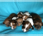 Dachshund Puppy For Sale in KYLE, TX, USA