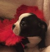 Boston Terrier Puppy For Sale in FREDERICK, MD, USA
