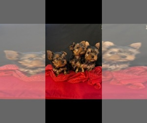 Yorkshire Terrier Litter for sale in ALVARADO, TX, USA