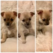Chihuahua Puppy For Sale in TAMPA, FL, USA