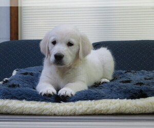 Golden Retriever Litter for sale in MECHANICSVILLE, MD, USA