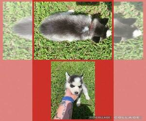 Siberian Husky Litter for sale in NACOGDOCHES, TX, USA