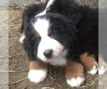 Bernese Mountain Dog Puppy For Sale in SOUTHWORTH, WA, USA