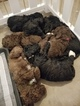 Labradoodle Puppy For Sale in JERSEYVILLE, IL, USA