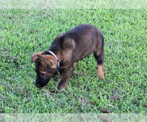 German Shepherd Dog Litter for sale in FREDERICKTOWN, OH, USA