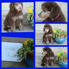 Poodle (Standard) Litter for sale in HOISINGTON, KS, USA