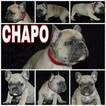 French Bulldog Puppy For Sale in ARCOLA, TX, USA