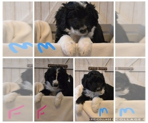 Aussiedoodle Litter for sale in PLEASANT HILL, MO, USA