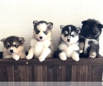 Pomsky Puppy For Sale in LEBANON, OR, USA
