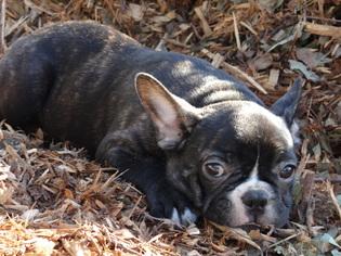 French Bulldog Litter for sale in FONTANA, CA, USA