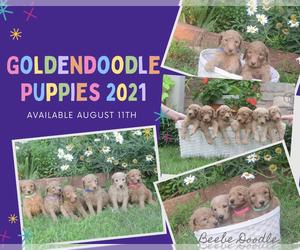Goldendoodle Litter for sale in GARBER, OK, USA